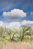 Зацветая сад на предпосылке голубого неба с белыми облаками Стоковые Фотографии RF