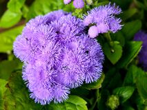 Зацветая свежий покрашенный цветок Стоковые Фотографии RF
