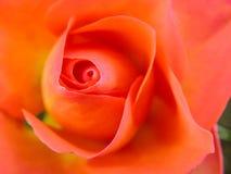 Зацветая свежий покрашенный цветок Стоковые Изображения