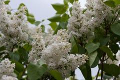 Зацветая сирени весной в природе сада Стоковая Фотография