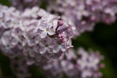 Зацветая сирени весной в природе сада стоковые изображения rf