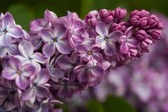 Зацветая сирени весной в природе сада стоковые фото