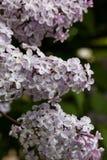 Зацветая сирени весной в природе сада Стоковое фото RF