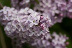 Зацветая сирени весной в природе сада Стоковое Фото