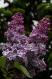 Зацветая сирени весной в природе сада Стоковая Фотография RF