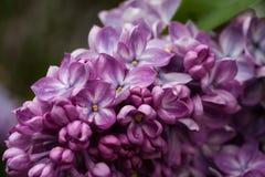 Зацветая сирени весной в природе сада Стоковые Изображения