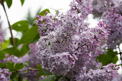 Зацветая сирени весной в природе сада Стоковое Изображение