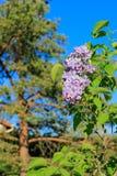 Зацветая сирени разветвляют, сосна и голубое небо в весеннем времени Фиолетовые florets весны сирени в саде стоковые изображения