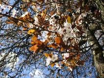 Зацветая сладостный белый вишневый цвет цветет на предыдущем после полудня весны, Ванкувере, 2018 стоковое изображение