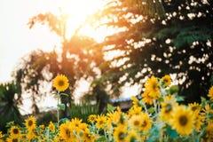 Зацветая солнцецветы в поле лета и светлых заходе солнца и цвете теплых стоковое фото rf
