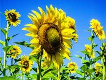 Зацветая солнцецветы на поле стоковое изображение
