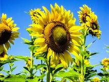 Зацветая солнцецветы на поле стоковые фотографии rf