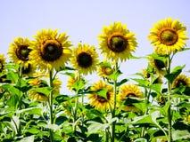 Зацветая солнцецветы на поле стоковое фото