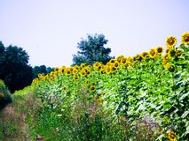 Зацветая солнцецветы на поле стоковые фото