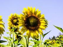 Зацветая солнцецветы на поле стоковые изображения rf
