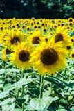 Зацветая солнцецветы на поле стоковые изображения