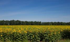 Зацветая солнцецветы Стоковое Изображение RF