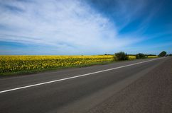 Зацветая солнцецветы Стоковая Фотография RF