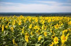 Зацветая солнцецветы Стоковое фото RF
