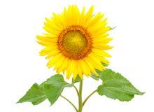 Зацветая солнцецвет, изолированный на белой предпосылке стоковое фото rf