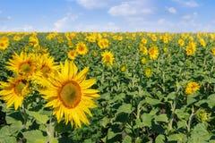 зацветая солнцецвет поля Стоковые Фото
