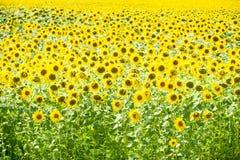 зацветая солнцецветы поля Цветя солнцецветы в поле Поле солнцецвета на солнечный день Стоковая Фотография RF