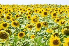 зацветая солнцецветы поля Цветя солнцецветы в поле Поле солнцецвета на солнечный день Стоковые Изображения