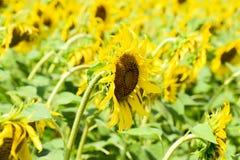 зацветая солнцецветы поля Цветя солнцецветы в поле Поле солнцецвета на солнечный день Стоковое Изображение