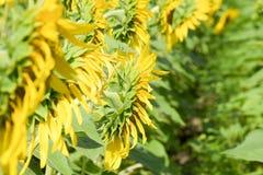 зацветая солнцецветы поля Цветя солнцецветы в поле Поле солнцецвета на солнечный день Стоковое фото RF