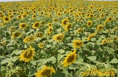 зацветая солнцецветы поля Цветя солнцецветы в поле Поле солнцецвета на солнечный день Стоковое Фото