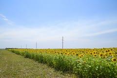 зацветая солнцецветы поля Цветя солнцецветы в поле Поле солнцецвета на солнечный день Стоковые Фотографии RF