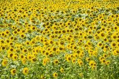 зацветая солнцецветы поля Цветя солнцецветы в поле Поле солнцецвета на солнечный день Стоковое Изображение RF