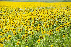 зацветая солнцецветы поля Цветя солнцецветы в поле Поле солнцецвета на солнечный день Стоковая Фотография