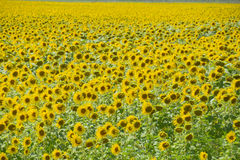 зацветая солнцецветы поля Цветя солнцецветы в поле Поле солнцецвета на солнечный день Стоковые Изображения RF