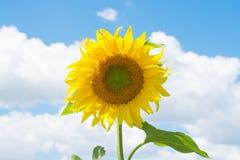 зацветая солнцецветы поля стоковые изображения rf