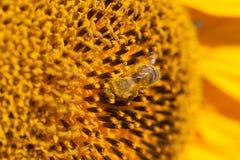 зацветая солнцецветы поля Стоковое фото RF