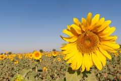 зацветая солнцецветы поля Стоковая Фотография