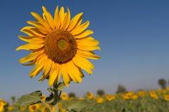 зацветая солнцецветы поля Стоковое Фото