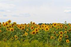 зацветая солнцецветы поля Стоковое Изображение RF