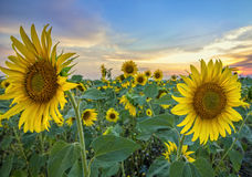 зацветая солнцецветы Стоковые Фото