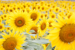 Зацветая солнцецвет в поле Стоковая Фотография