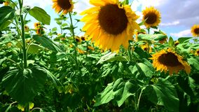 Зацветая солнцецвет против голубого ясного неба видеоматериал
