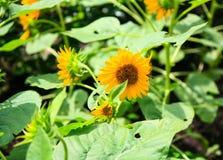 зацветая солнцецвет Стоковое Изображение RF