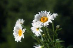Зацветая стоцвет, селективный фокус Стоковые Фото