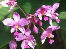 Зацветая темный розовый цвести орхидей и бутонов Стоковое Изображение RF