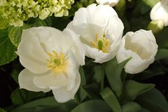 3 зацветая тюльпана Стоковые Фотографии RF