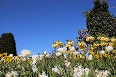 Зацветая тюльпаны и цветки в Springtimeธ стоковые изображения