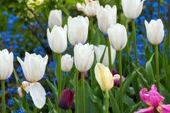 зацветая тюльпаны белые Стоковые Изображения RF