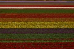 Зацветая тюльпаны Голландии Стоковые Фото