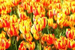 зацветая тюльпаны Стоковые Фото